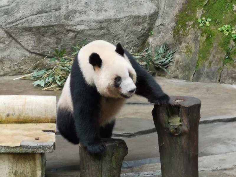 20190310-高雄觀光局長潘恆旭在個人臉書貼出3張貓熊照片,並證實重慶動物園有意贈送2隻貓熊給壽山動物園。(取自潘恆旭臉書)