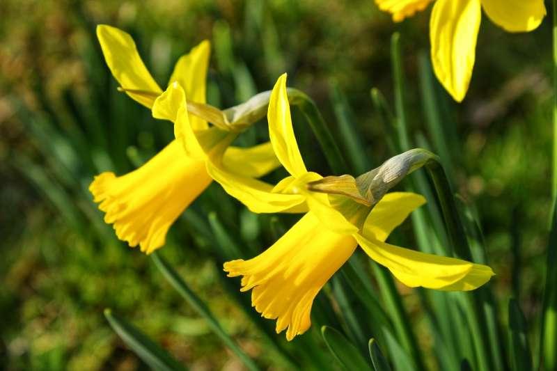 水仙花的英文和故事的主角一樣,都叫做Narcissus。(圖片取自Pixabay)