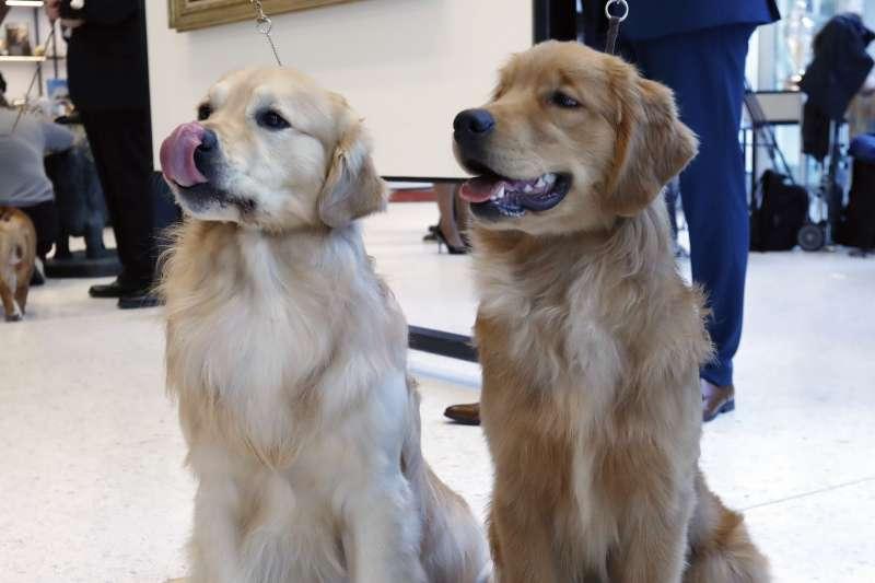 黃金獵犬可愛、親人的模樣,深受許多人愛戴。(AP)