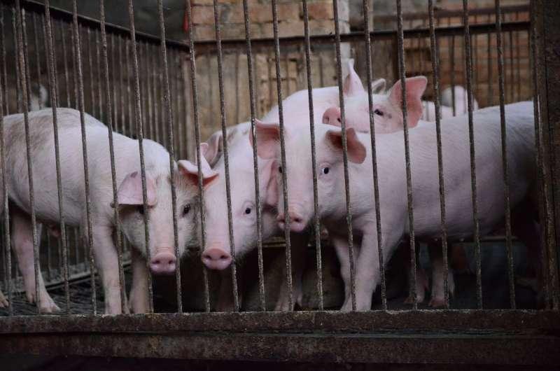 英國《衛報》指出,大量牲畜排泄物已成地球一大問題(取自Pixabay)