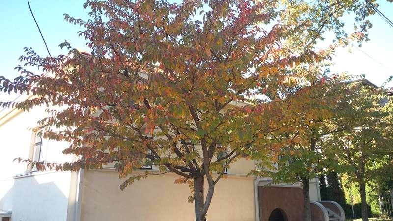 4杉原千畝紀念館門口美麗的樹(圖/作者提供)