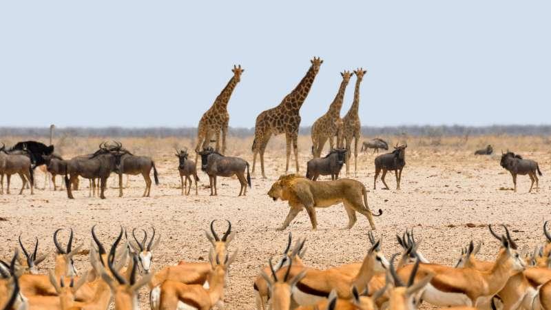 獅子、非洲動物(取自pixabay)