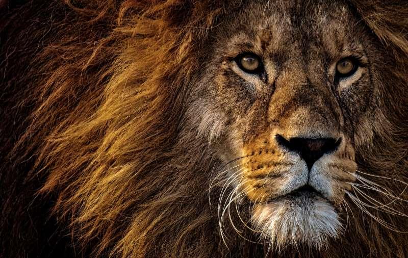 獅子(取自pixabay)