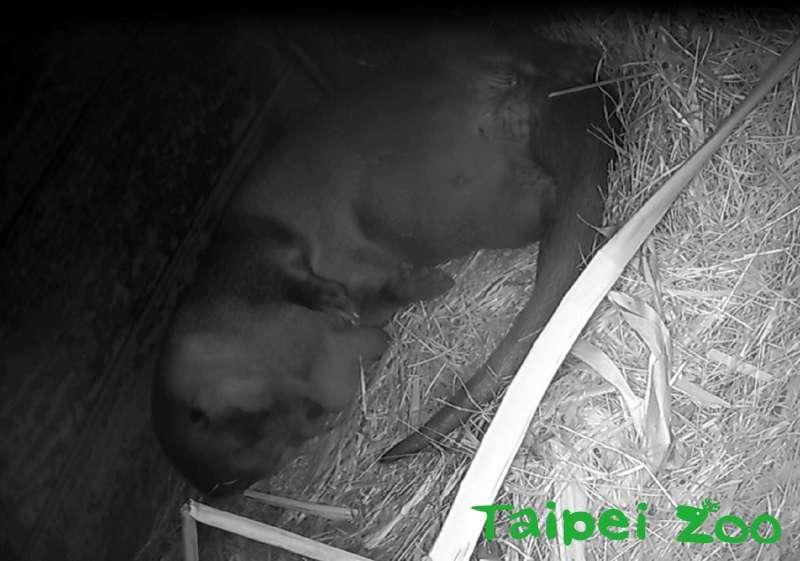 歐亞水獺「金莎」,於3月9日(六)晚間約5點左右,再度平安誕下1隻小寶寶(監視器影像畫面)。(台北市政府提供)