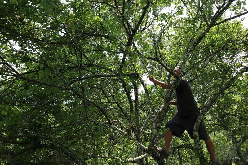 在中原部落裡採梅體驗,透過竹竿採梅。(圖/王秀禾攝)