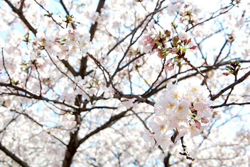目黑川畔超過800棵櫻花樹中,大部分為人工培育的觀賞樹種「染井吉野櫻」。(圖/想想論壇提供)