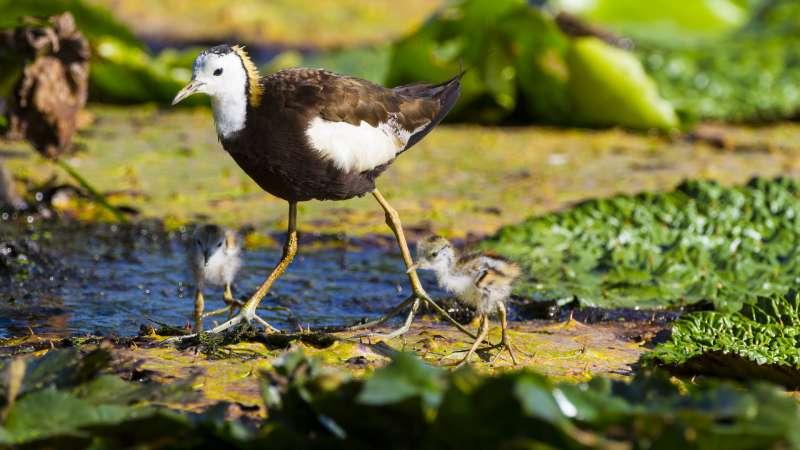 水雉是母系社會由雄鳥照顧雛鳥(呂紹煒攝)