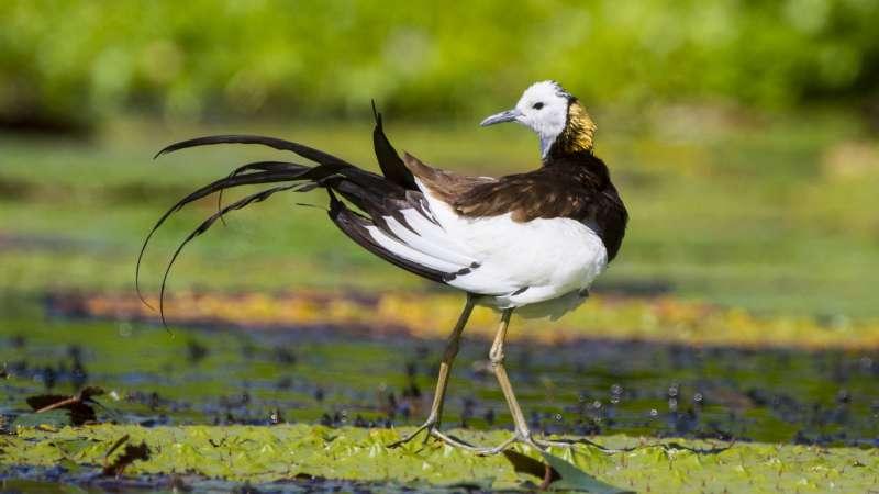 水雉繁殖羽有漂亮的長尾與金色脖子(呂紹煒攝)