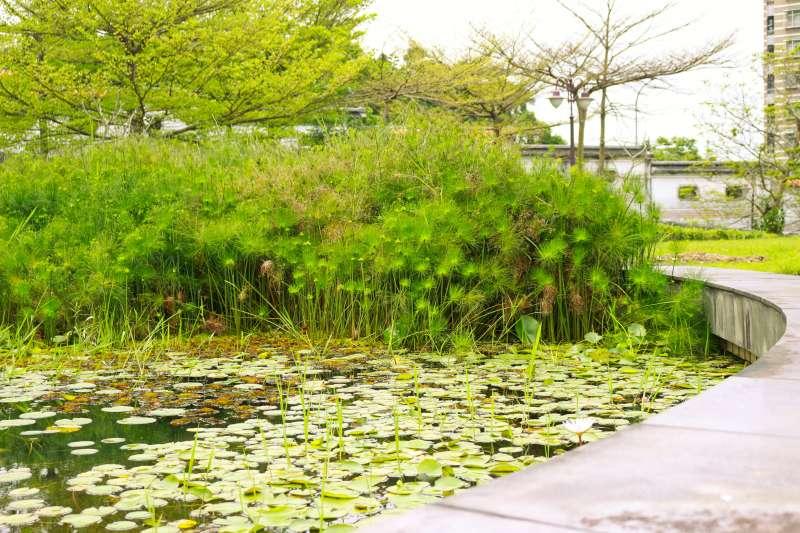 20190415-紙莎草一般可作為水池造景、園藝觀賞或插花花材使用。(台北市政府提供)