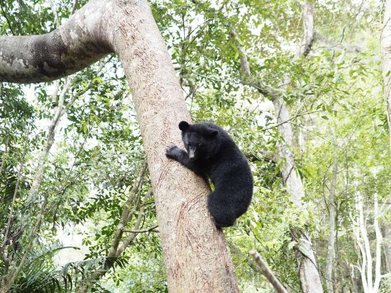 20190423_「南安小熊妹」很快就知道要把獵物叼到樹上吃、避免競爭。圖為小熊妹爬樹野放訓練。台灣黑熊。(台灣黑熊保育協會提供)