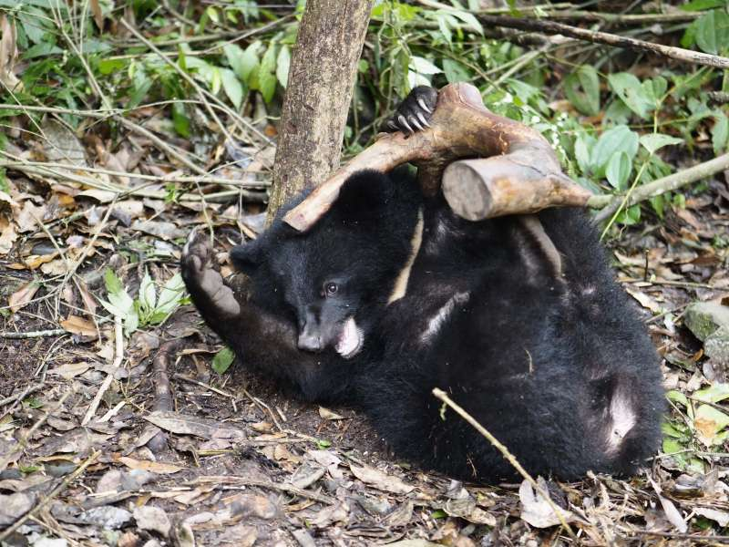 20190423_「南安小熊妹」在野訓場玩枯木。台灣黑熊。(台灣黑熊保育協會提供)