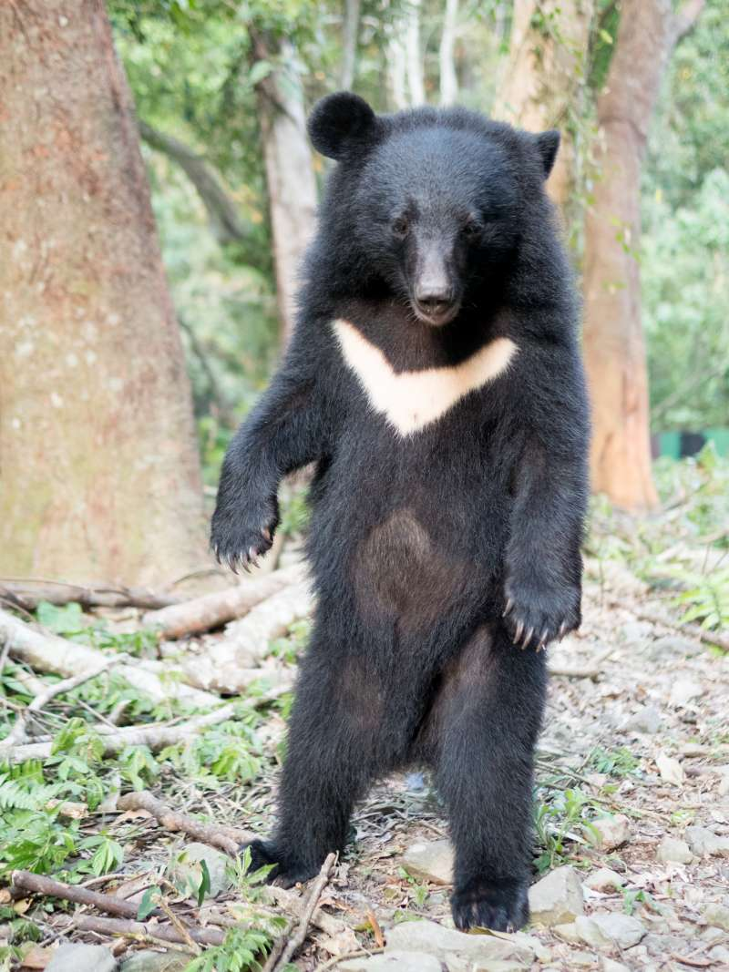 20190423_「南安小熊妹」在野訓場以後腳站立。台灣黑熊。(台灣黑熊保育協會提供)