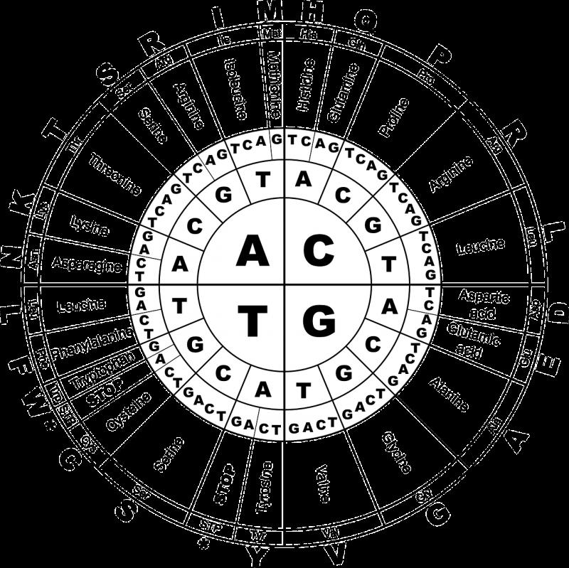 DNA是一串由四個固定鹼基「A、T、C、G」排列組合而成的更巨大分子,每三個鹼基會排列出一組譯碼(codon)。(pixabay)