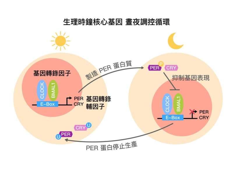 生理時鐘核心基因,晝夜調控循環示意圖 (core circadian feedback loop) 。(圖/研之有物)