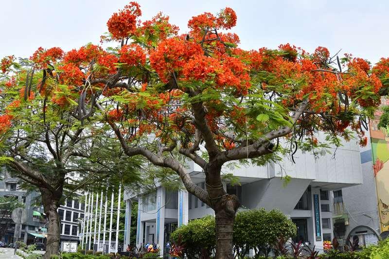 初夏時刻,正踏入鳳凰木的花期,愛河旁鳳凰木花開得愈燦爛。(圖/徐炳文攝)