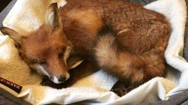 德南的丈夫發現了這隻幼年的狐狸。(BBC中文網)