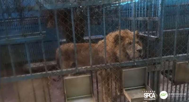 20190618-台南蛇王教育農場的非洲獅。(台灣防止虐待動物協會提供)