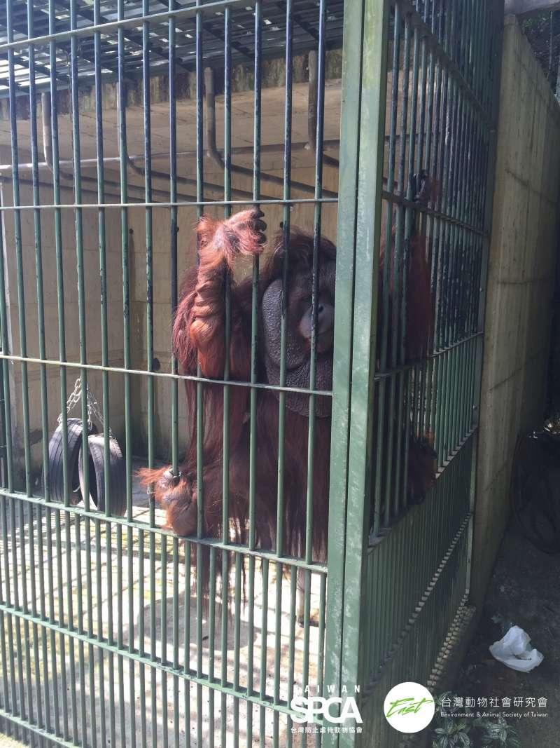 20190618-森林鳥花園飼養的紅毛猩猩。(台灣防止虐待動物協會提供)