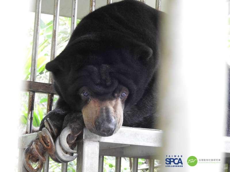 20190618-雲林縣私人飼養的馬來熊。(台灣防止虐待動物協會提供)