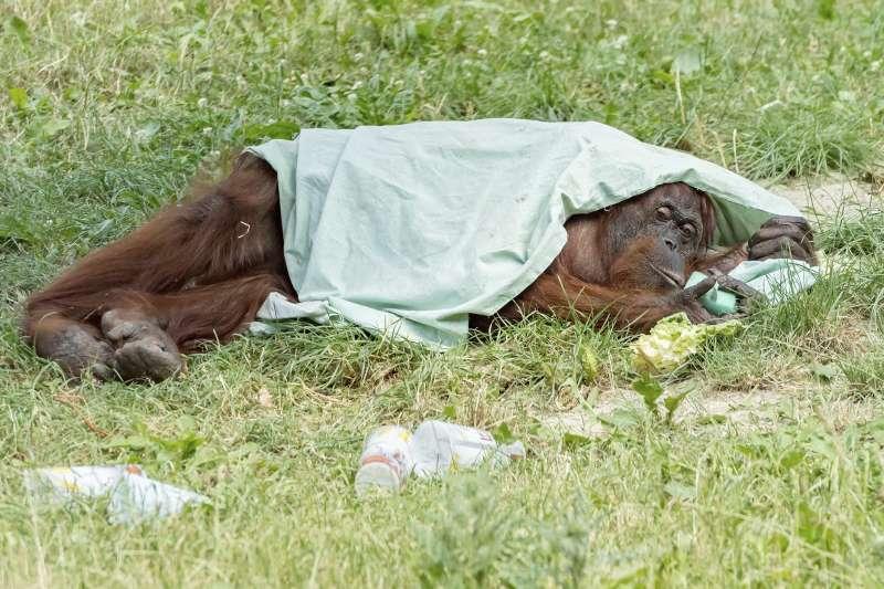 維也納美泉宮動物園的紅毛猩猩用薄毯遮陽。(美聯社)