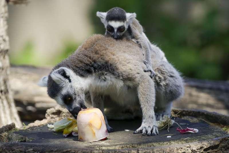 羅馬動物園的狐猴吃水果冰塊消暑。(美聯社)