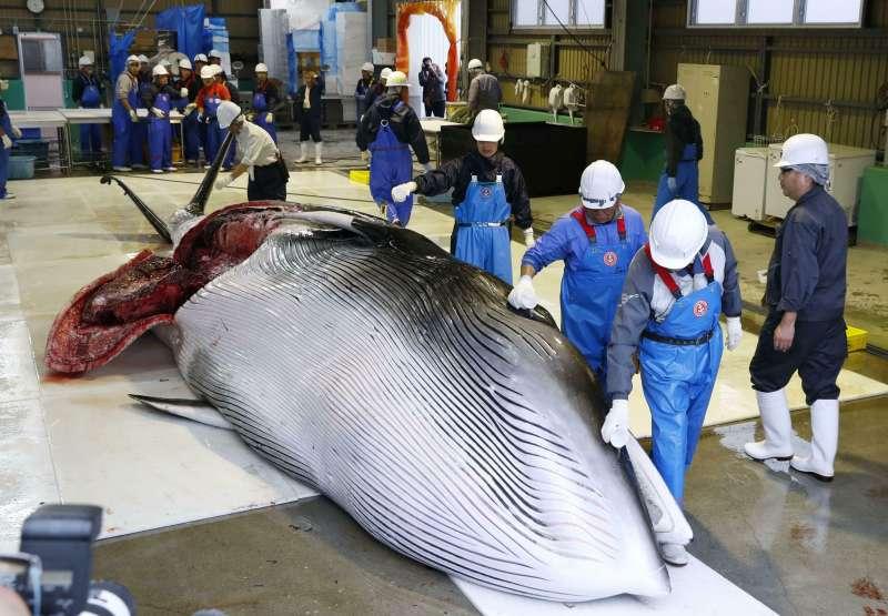 上岸後捕獲的鯨魚將先進行基本處理,然後被運往當地商店販售。(AP)