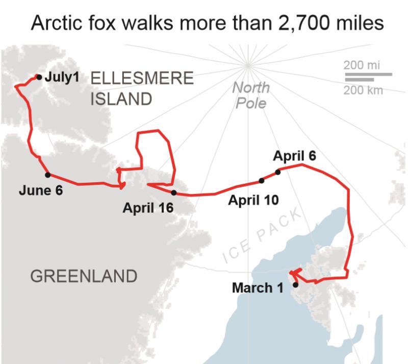 這隻雌北極狐的移動路線(美聯社)
