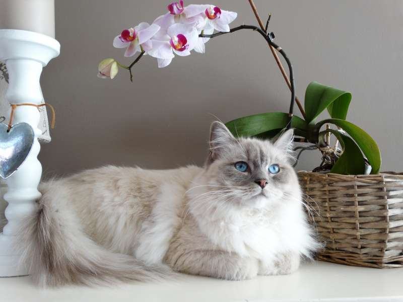 獅子貓是波斯貓跟魯西狸貓的混種(圖/pexel)