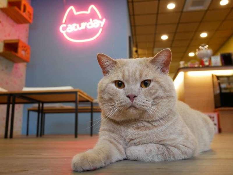 養貓人家的Cookie(圖/Caturday養貓人家粉絲專頁)
