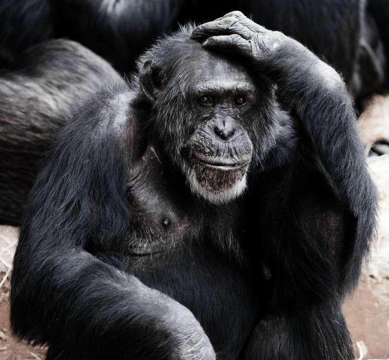 美國研究發現,黑猩猩也能透過看電影等共享經驗增進彼此關係。(圖/Pixabay)
