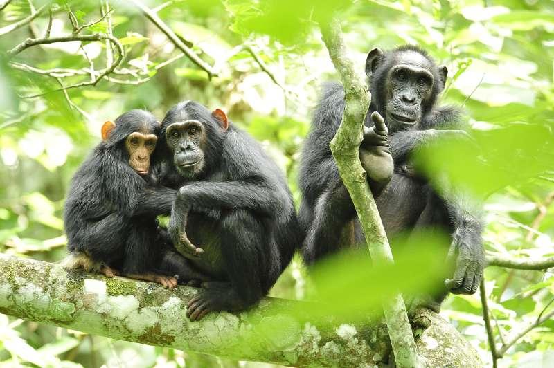 黑猩猩與人類基因組的相似度高達99.8%。(維基百科公有領域)