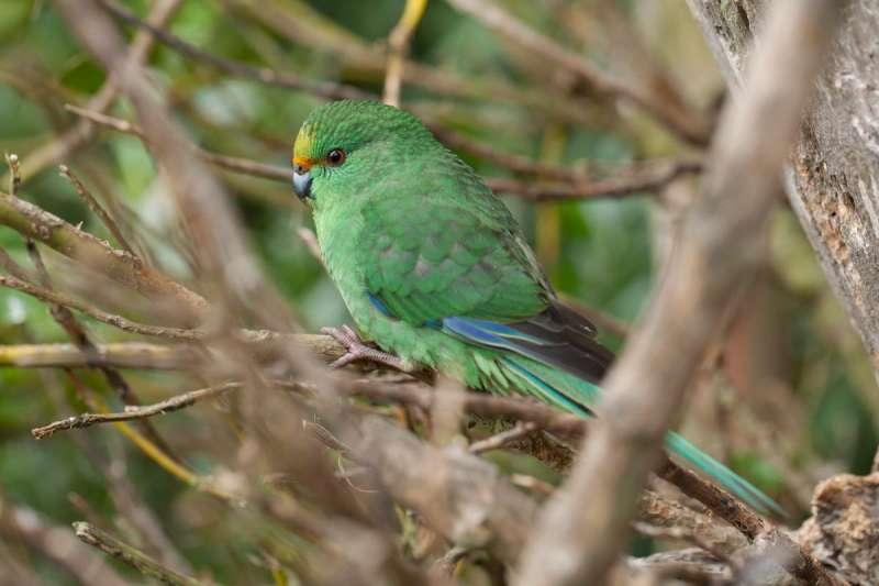 紐西蘭特有的小型橙額鸚鵡(取自Isaac Conservation and Wildlife Trust臉書)