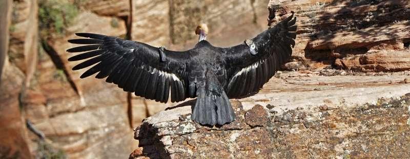美國復育加州神鷲37年,數量已從22隻上升到500餘隻。(AP)