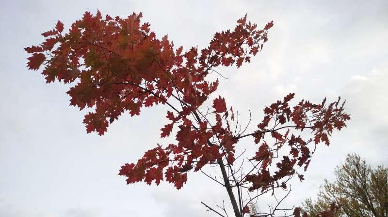 愛沙尼亞國家博物館,枝頭紅葉嵌入白雲。(圖/謝幸吟提供)