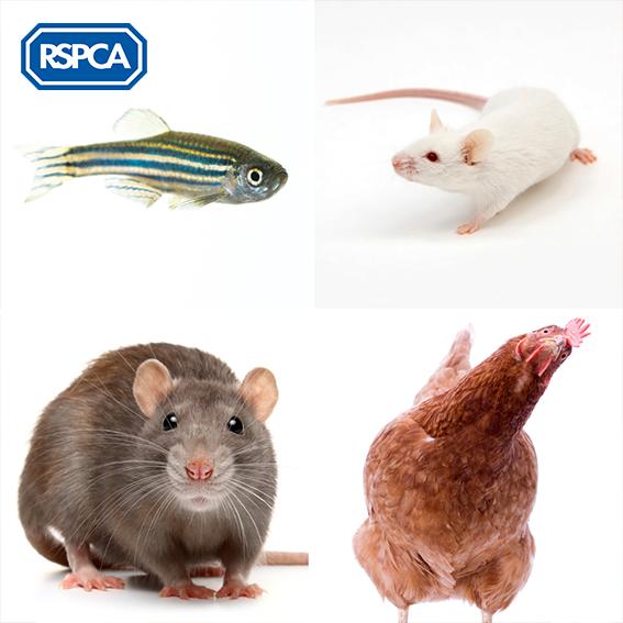 英國皇家防止虐待動物協會(RSPCA)成立195年,致力推動動物福利法規,此為常見的實驗動物。(取字RSPCA粉絲專頁)