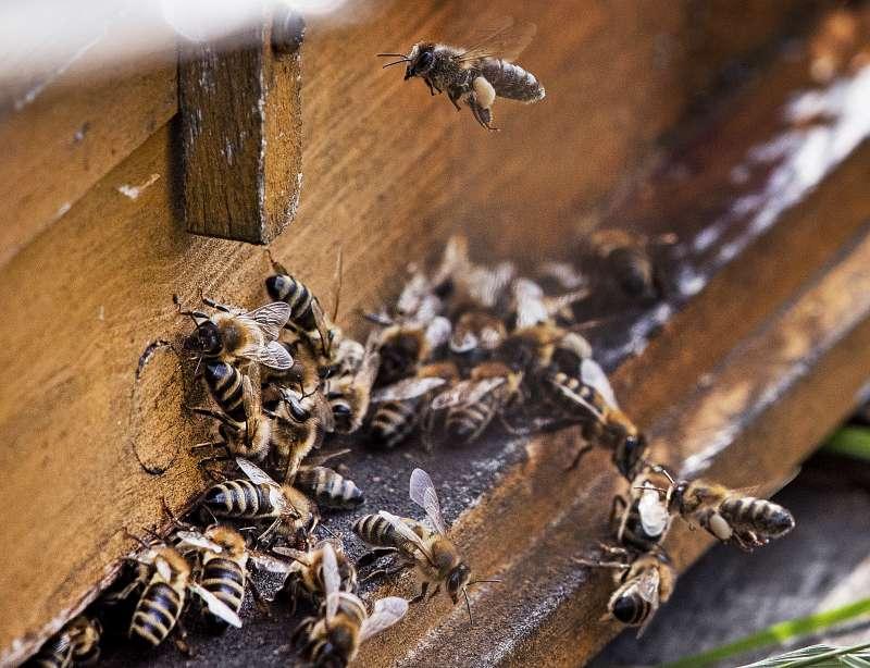 蜜蜂正因氣候變遷大量消失,歐美興起「城市養蜂」熱潮,期望減緩衝擊。(AP)