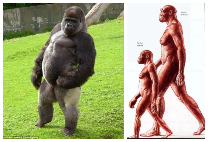 劃分人與猿的界限:習慣性兩腿直立行走。(新華社)