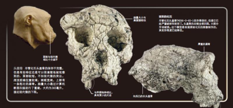圖邁的頭骨:枕骨大孔位於顱骨下方,表明頭骨垂直位於脊柱上,顯示他已能直立行走。(新華社)