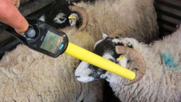 運用無線射頻辨識系統管理牲畜。(BBC中文網)