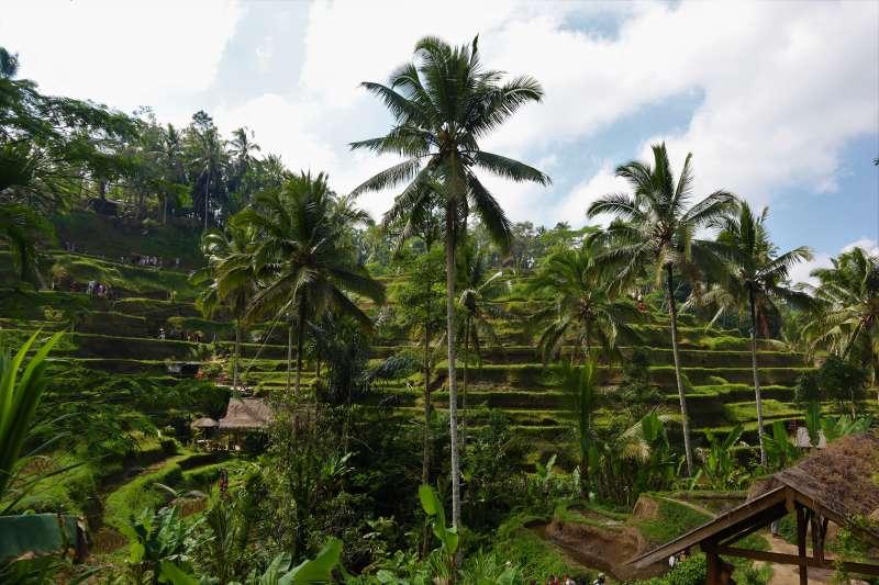 峇里島「德哥拉朗梯田」具有層次分明的田野景色。(蔡娪嫣攝)