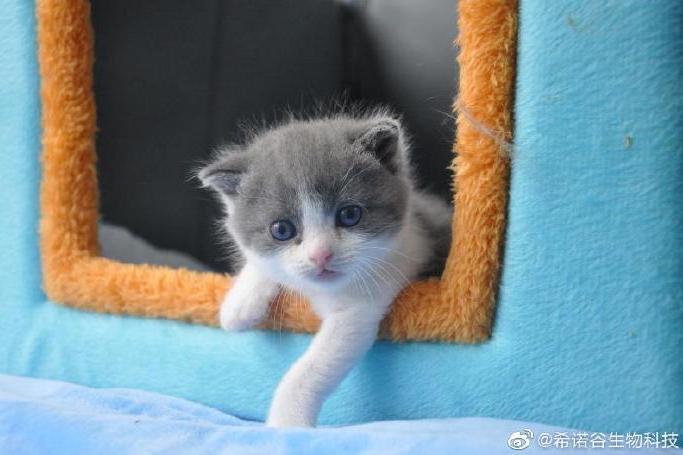 中國首次出現複製貓。(圖/希諾谷生物科技微博)