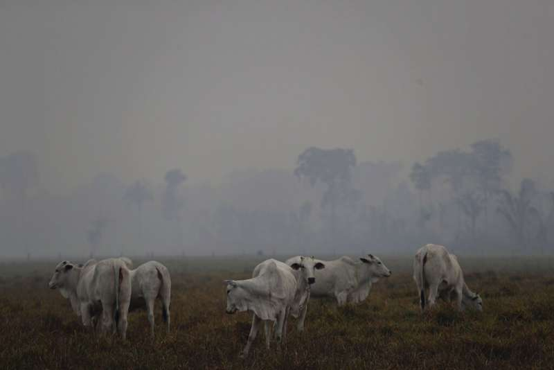 亞馬遜雨林今年迄今已發生逾7萬場森林大火,突破6年來紀錄,動物生存遭遇威脅。(AP)