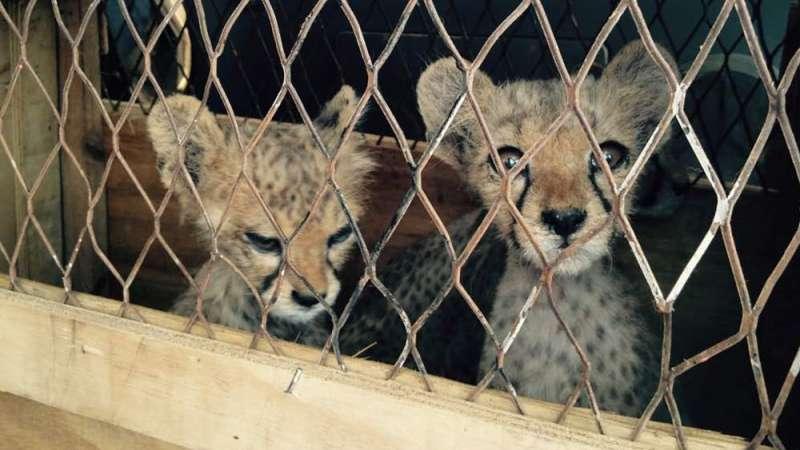 獵豹非法交易猖獗:許多幼豹在走私過程中因惡劣環境身亡。(翻攝自CCF)