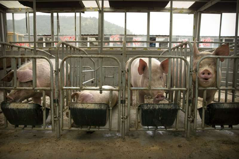 非洲豬瘟疫情難控制,中國一年來已經撲殺上億豬隻,豬隻數量減少1/3。(AP)