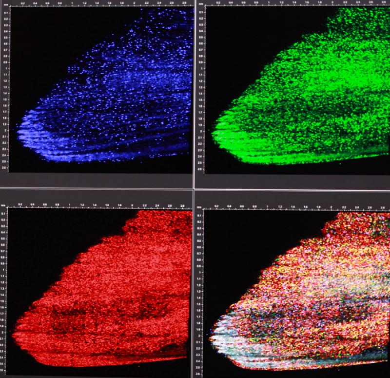 Skinbow:將紅、綠、藍(光的三原色)螢光蛋白標誌疊合之後,可以產生上百種不同顏色來標誌不同的表皮細胞,讓同個細胞在組織再生的過程中,能被長時間追蹤觀察。(圖/張語辰攝)
