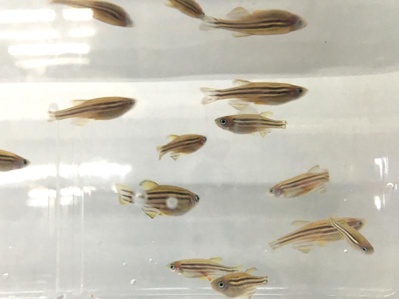 找找看,能發現失去再生能力的基因突變斑馬魚嗎?小提示:注意尾鰭。(圖/張語辰攝)