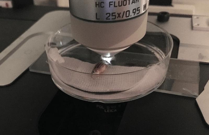 斑馬魚的體型小且扁平,麻醉後易於透過顯微鏡長時間觀察。(圖/張語辰攝)