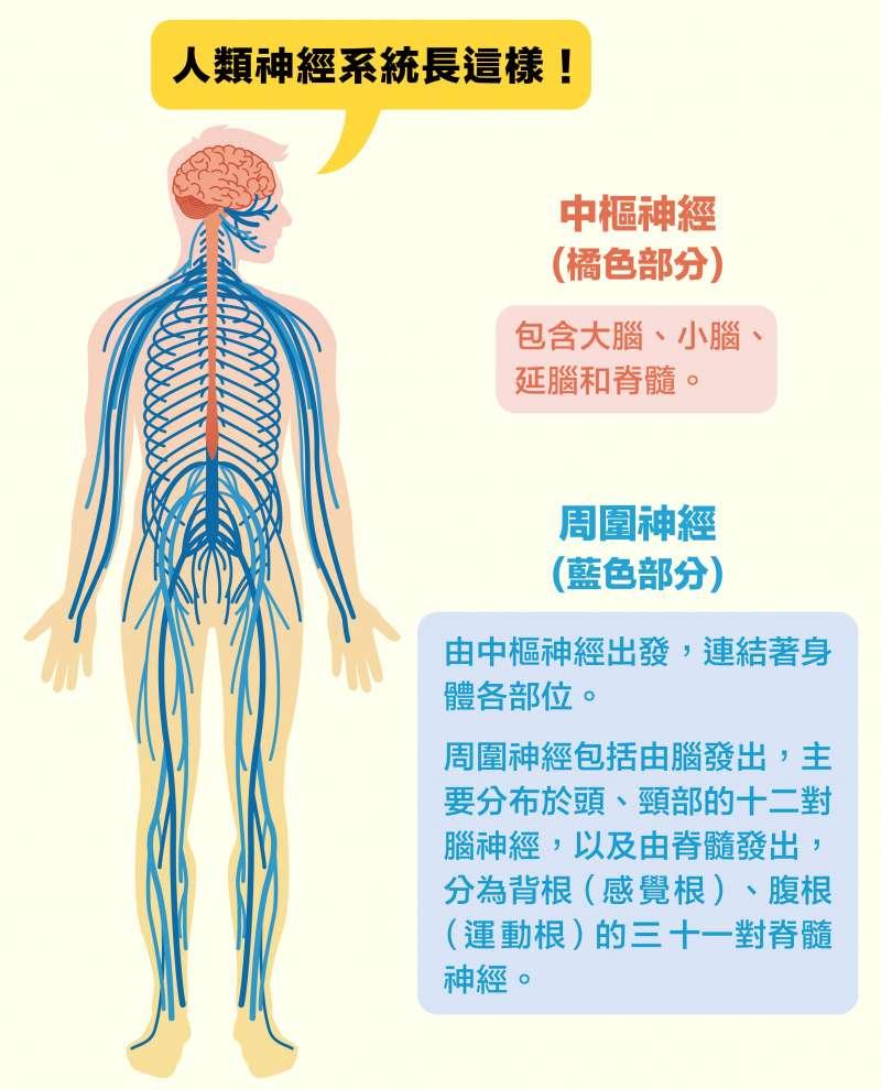 人類神經系統示意圖。(圖說設計/黃曉君、林洵安)