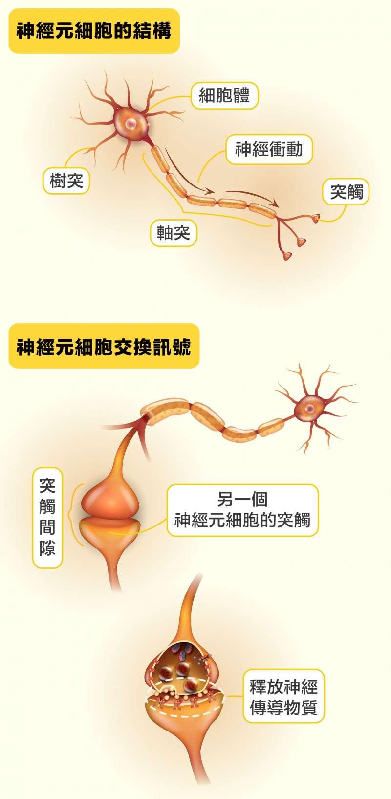 第一個神經元細胞將神經衝動傳到軸突末端的突觸,然後釋放神經傳導物質到下一個神經元細胞的樹突突觸,藉此將神經衝動傳給下一個神經元,就這樣把訊息接力傳到目的地。(圖說設計/黃曉君、林洵安)