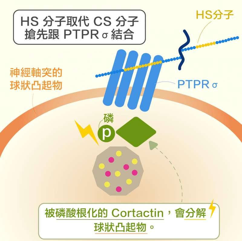 第二個新發現:HS 分子取代 CS 分子,搶先與 PTPRσ 結合, 讓 Cortactin 又可被磷酸根化, 使神經軸突順利再生。(圖說重製/黃曉君、林洵安)